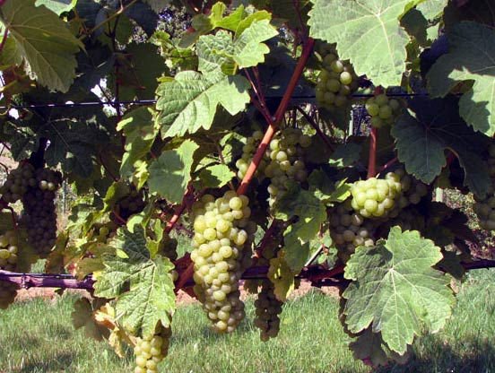 виноград Йоханиттер
