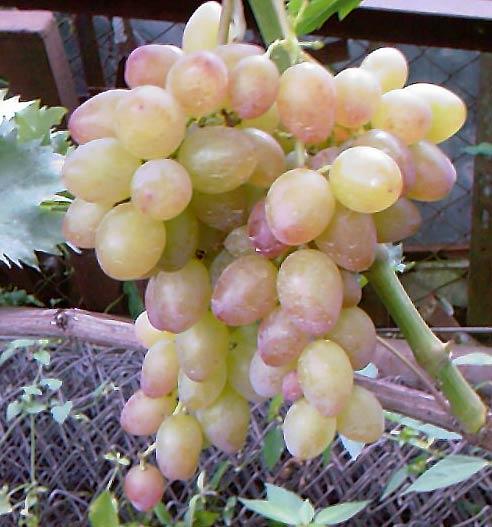 виноград Багровый