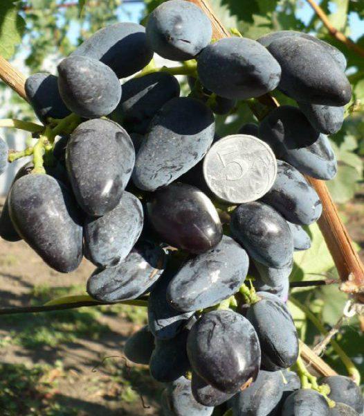 виноград В-2