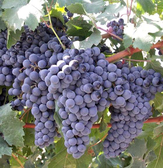 виноград Комета