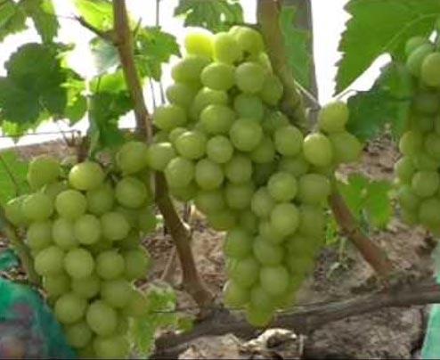виноград Лазур