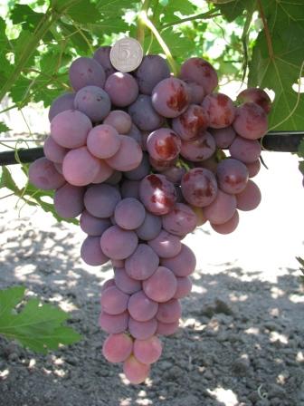 виноград Лада-Т