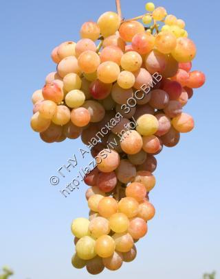 виноград зори анапы