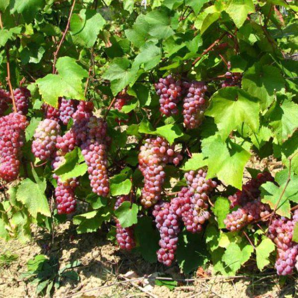 виноград траминер розовый
