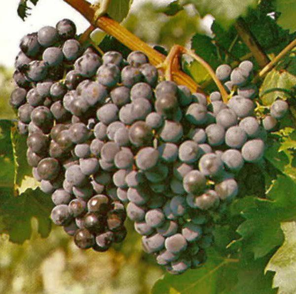 виноград 40 лет октября